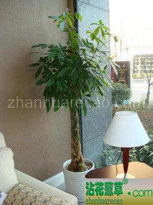 五编发财树H160-180cm