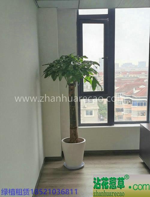 单杆发财树H160-180cm