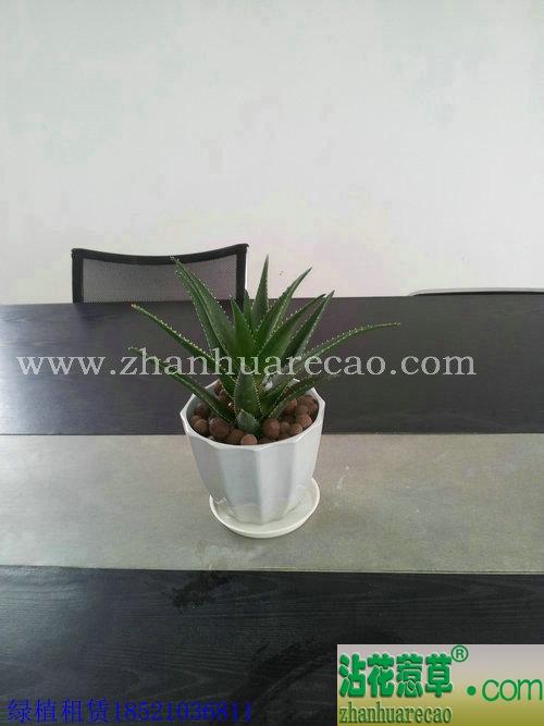芦荟H20-30cm