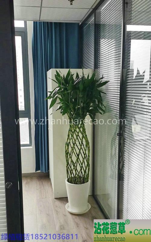富贵竹笼150-160cm