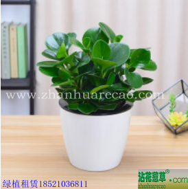 豆瓣绿H20-30cm
